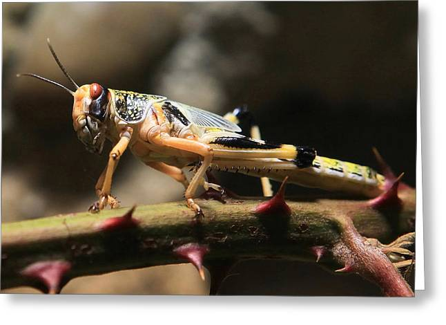 Scavenge Greeting Cards - Locust Greeting Card by Joe Burns