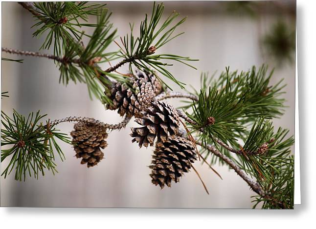 Pine Cones Greeting Cards - Lodgepole Pine Cones Greeting Card by Karen M Scovill