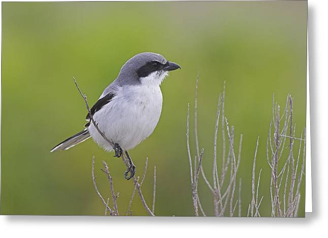 Wildlife Celebration Greeting Cards - Loggerhead Shrike Perched on Twig Greeting Card by Birds Only