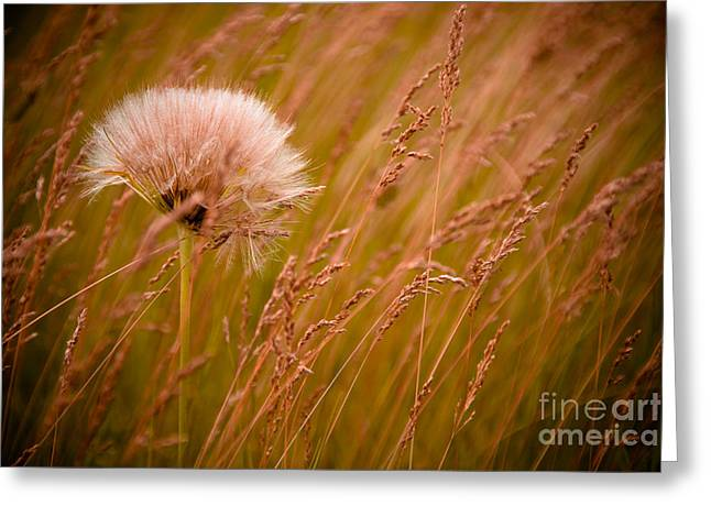Grasses Greeting Cards - Lone Dandelion Greeting Card by Bob Mintie