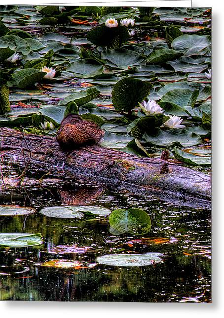 Lone Duck Greeting Card by David Patterson