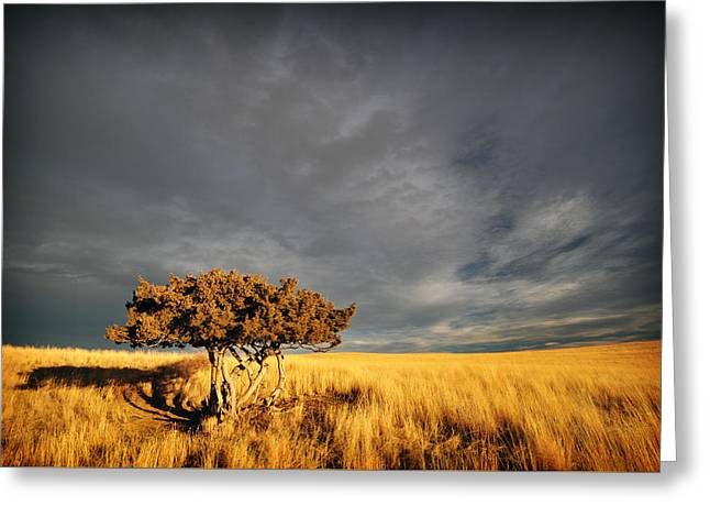 Fall Grass Greeting Cards - Lone Tree Greeting Card by Jedediah Hohf