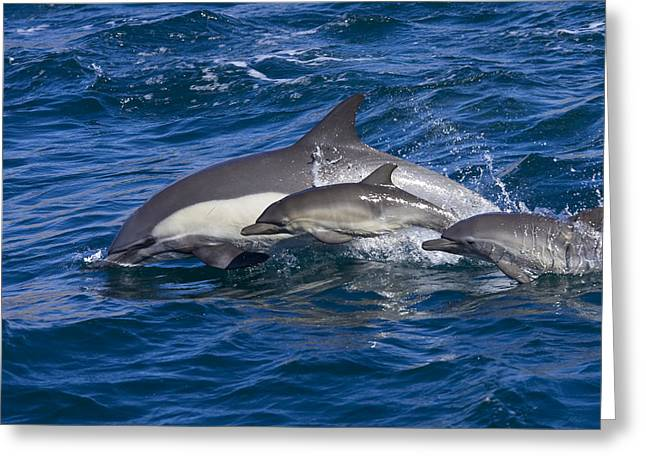 Three Speed Greeting Cards - Long-beaked Common Dolphins, Delphinus Greeting Card by Ralph Lee Hopkins