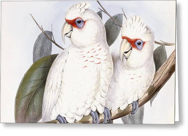 Long-billed Cockatoo Greeting Card by John Gould