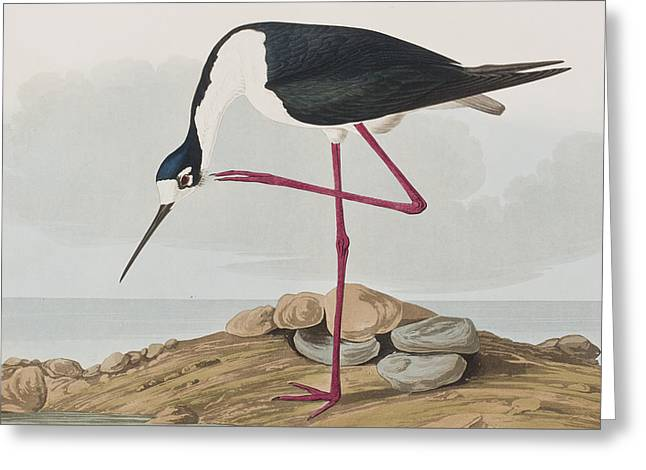 Long Legs Greeting Cards - Long-legged Avocet Greeting Card by John James Audubon