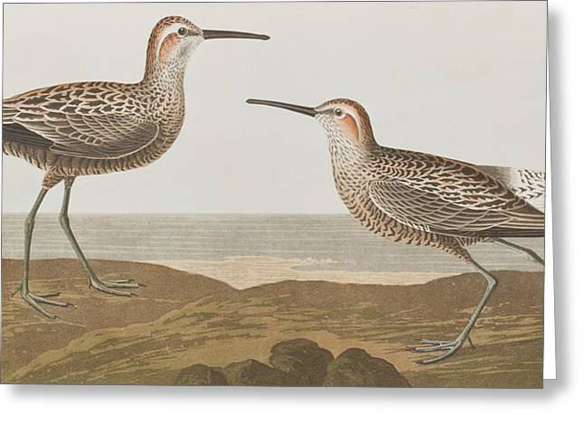 345 Greeting Cards - Long-legged Sandpiper Greeting Card by John James Audubon