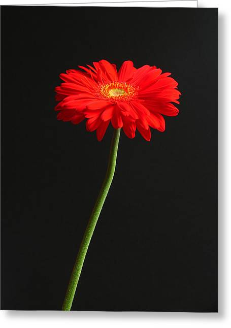 Close Up Floral Greeting Cards - Long Stem Beauty Greeting Card by Juergen Roth