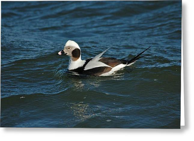 Aquatic Greeting Cards - Long Tailed Duck Greeting Card by Paul O