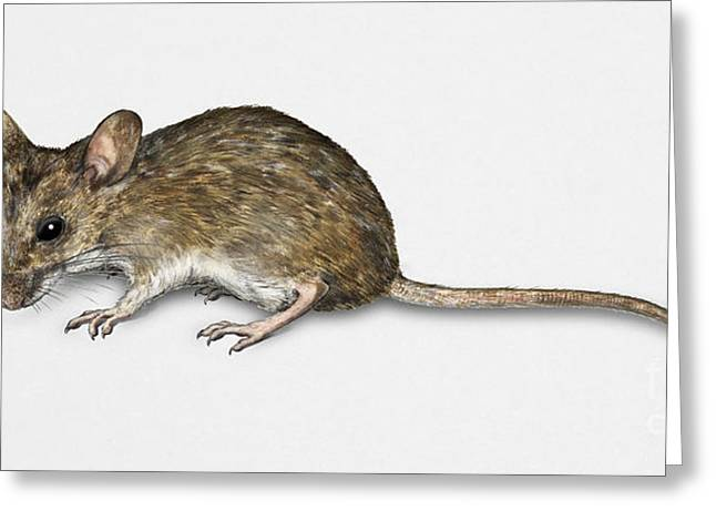 Nature Study Drawings Greeting Cards - Long Tailed Field Mouse Apodemus sylvaticus - Wood Mouse - Moulo Greeting Card by Urft Valley Art