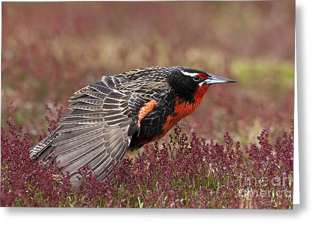 Long-tailed Meadowlark Greeting Card by Jean-Louis Klein & Marie-Luce Hubert