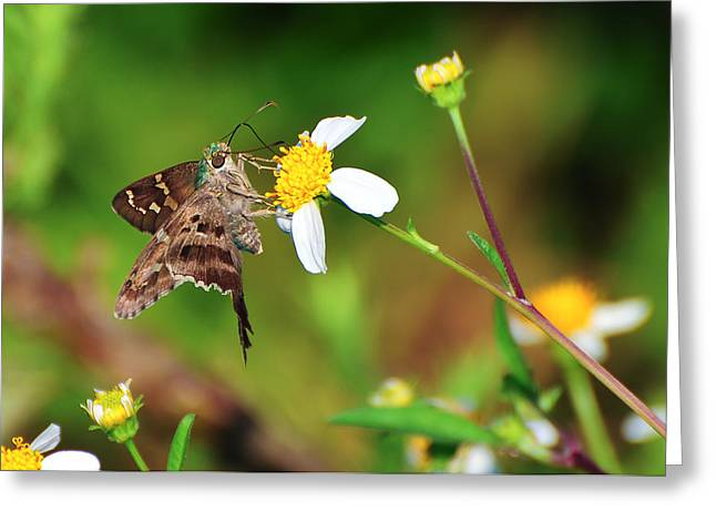 Florida Flowers Greeting Cards - Long-tailed Skipper Butterfly Greeting Card by Rich Leighton
