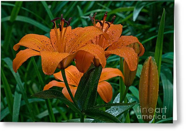 Day Lilly Greeting Cards - Long Valley Lily Greeting Card by Robert Pilkington