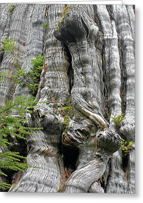 Old Relics Greeting Cards - Long Views - Giant Western Red Cedar Olympic National Park WA Greeting Card by Christine Till