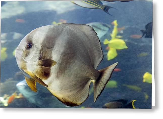 Batfish Greeting Cards - Longfin Batfish Greeting Card by Betsy C  Knapp
