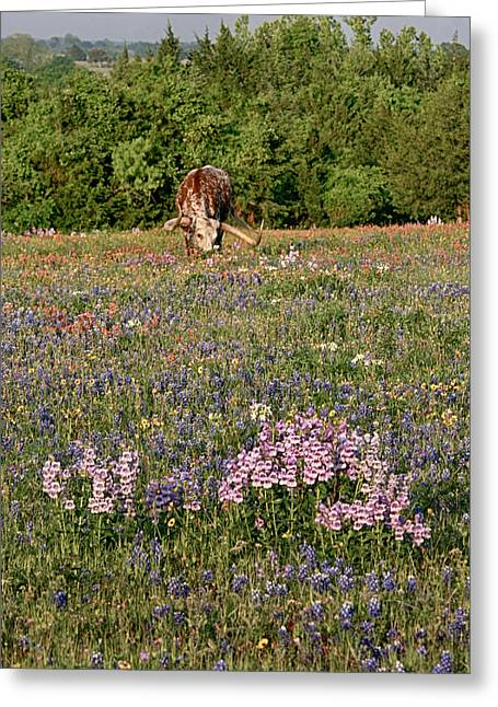Wild Flowers Of Texas Greeting Cards - Longhorn in Wildflowers Greeting Card by Charles McKelroy