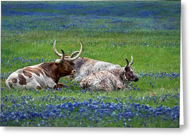Texas Longhorn In Bluebonnets Greeting Cards - Longhorns and Bluebonnets Greeting Card by Pamela Steege