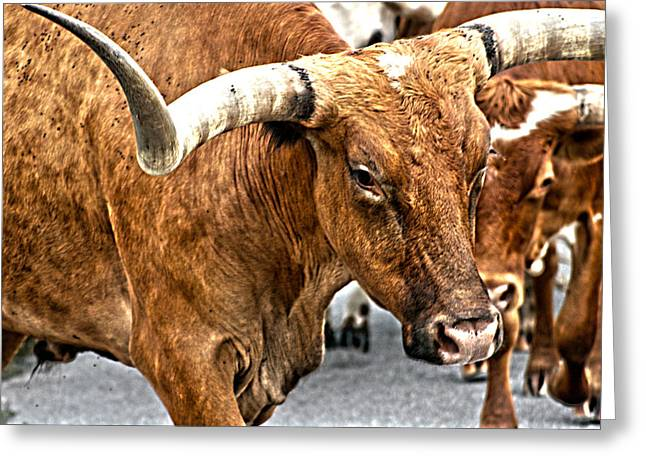 Cattle Drives Greeting Cards - Longhorns Greeting Card by Toni Hopper