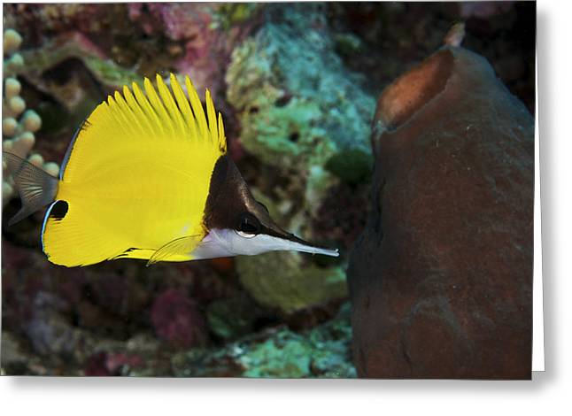 Long Nose Greeting Cards - Longnose Butterflyfish Greeting Card by Steve Rosenberg - Printscapes