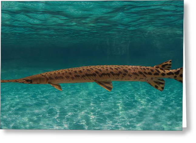 Longnose Gar Fish Greeting Card by Art Spectrum