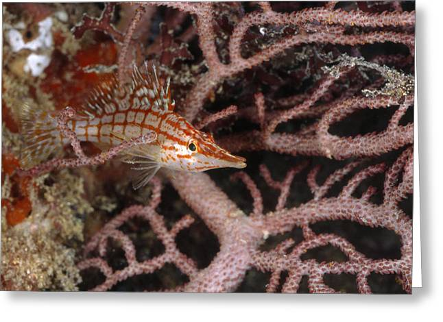 Longnose Hawkfish Hiding In Coral Greeting Card by James Forte