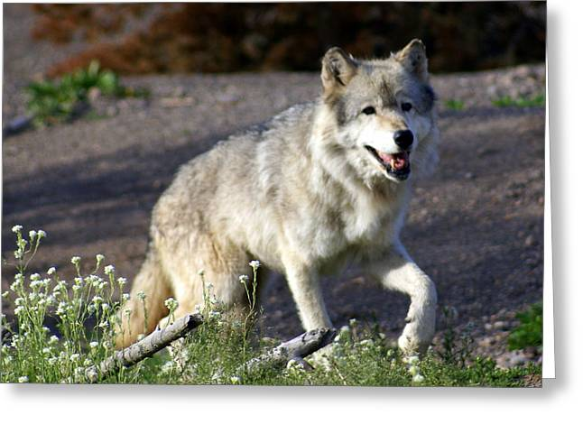 Lonly Wolf Greeting Card by Marty Koch