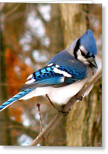 Blue Jay Images Greeting Cards - Look Of The Blue Jay Greeting Card by Debra     Vatalaro