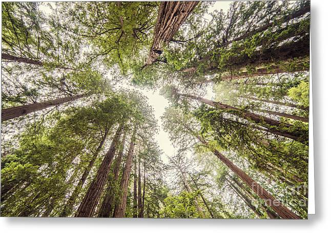 Looking Up At The Redwood Canopy - Founders Grove Muir Woods National Monument - Marin County  Greeting Card by Silvio Ligutti