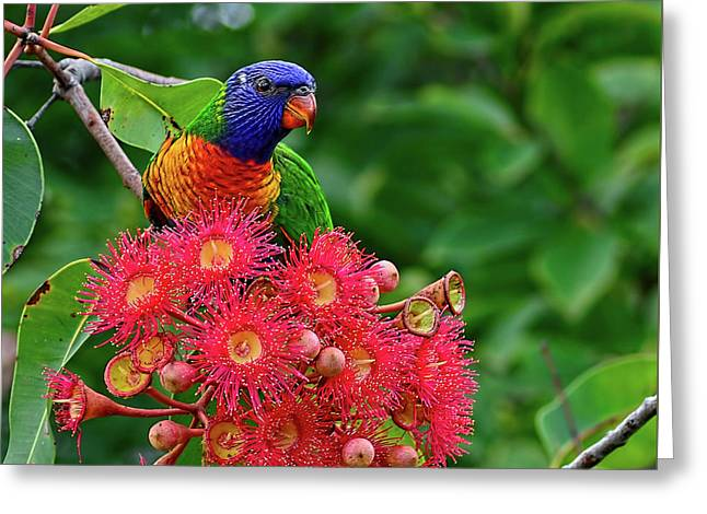 Lorikeet And Gum Nut Blossoms By Kaye Menner Greeting Card by Kaye Menner