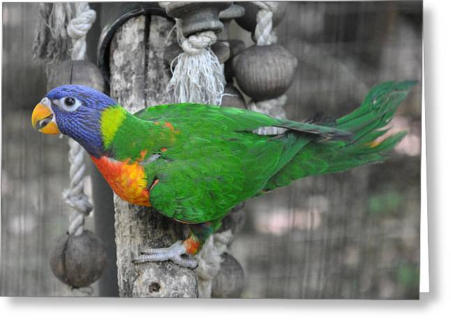 Parakeet Greeting Cards - Lorikeet Playtime Greeting Card by Jan Amiss Photography