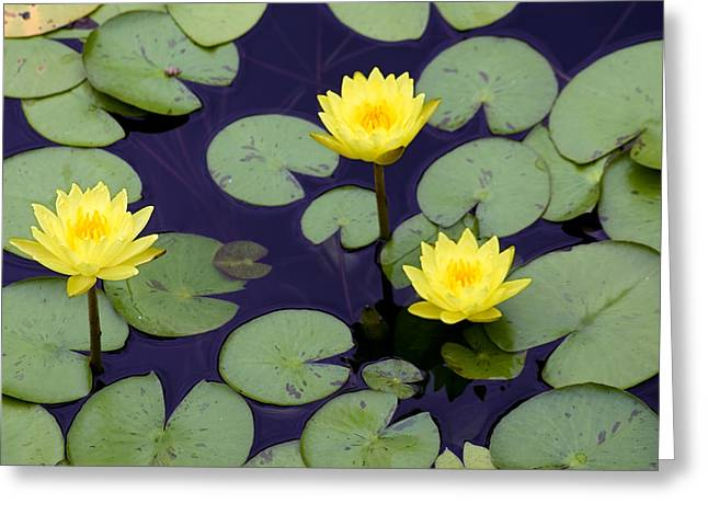 Water Lilly Greeting Cards - Loti in lilly pads Greeting Card by Kristin Smith