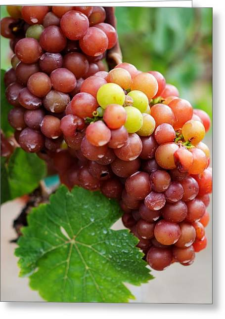 Grape Vineyard Greeting Cards - Lots of Grapes Greeting Card by Sabine Edrissi