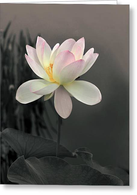 Lotus Alight Greeting Card by Jessica Jenney