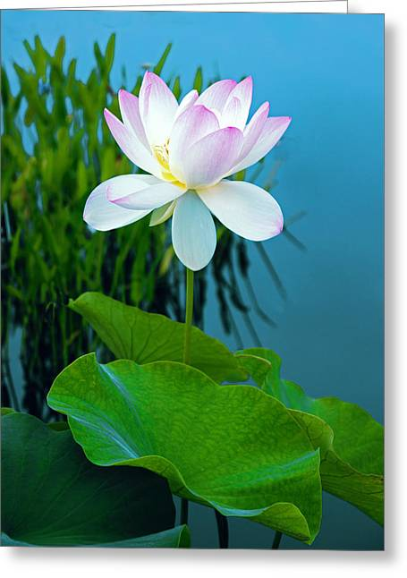 Lotus Leaves Greeting Cards - Lotus Blossom Greeting Card by Jessica Jenney