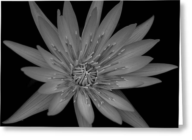 Aquatic Greeting Cards - Lotus Flower - Black and White Greeting Card by Greg Thiemeyer