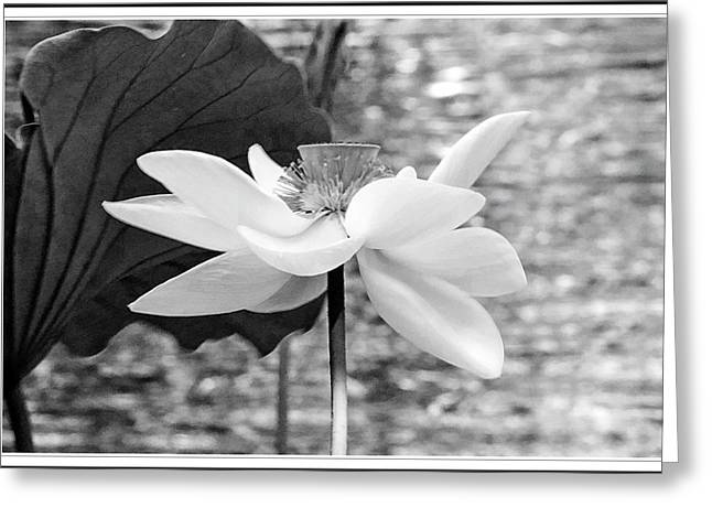 Lotus Flower In Black And White Greeting Card by Geraldine Scull