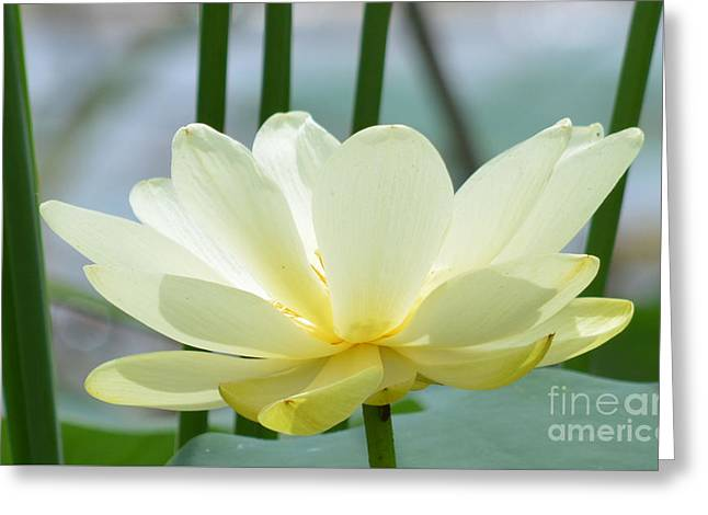 Lotus Full Bloom Greeting Cards - Lotus Flower in Full Bloom  Greeting Card by Ruth  Housley