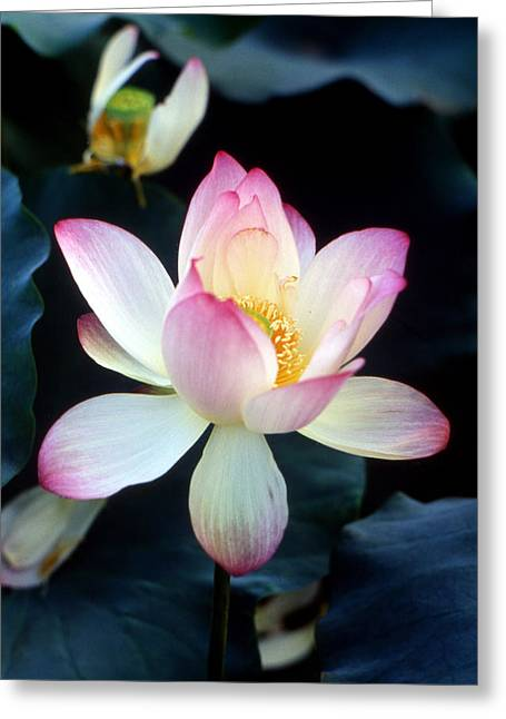 Lotus Leaf Greeting Cards - Lotus fragrance overflowing Greeting Card by Lian Wang