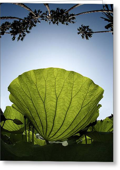 Lotus Leaves Greeting Cards - Lotus Leaf Greeting Card by Harry Spitz