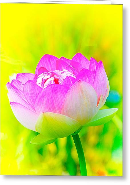 Lotus Full Bloom Greeting Cards - Lotus Greeting Card by Michael Hubley