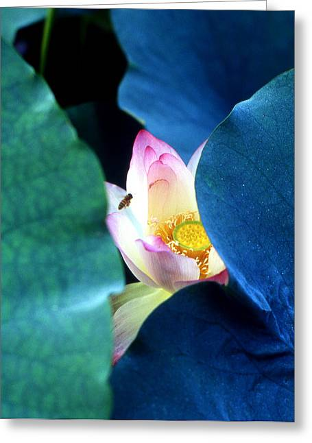 Lotus Leaves Greeting Cards - lotus Temptation of depth Greeting Card by Lian Wang