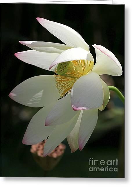 Lotus Under Cover Greeting Card by Sabrina L Ryan