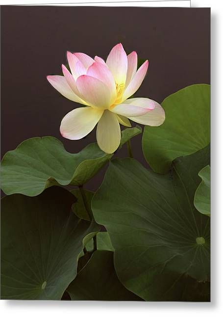 Lotus Unfurled Greeting Card by Jessica Jenney