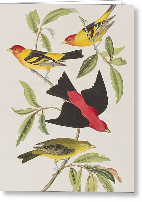 Yellow Leaves Drawings Greeting Cards - Louisiana Tanager or Scarlet Tanager  Greeting Card by John James Audubon