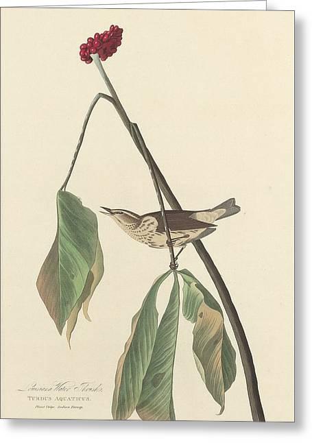 Thrush Greeting Cards - Louisiana Water Thrush Greeting Card by John James Audubon