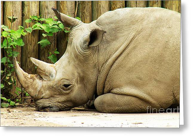 Rhinoceros Greeting Cards - Lounging Rhino Greeting Card by Andrew Bloom