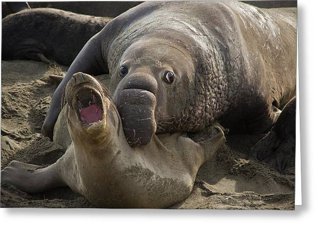 Elephant Seals Greeting Cards - Love Bite Greeting Card by Roger Mullenhour