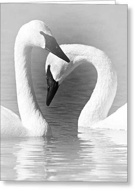 Trumpeters Greeting Cards - Love in Black and White Greeting Card by Larry Ricker