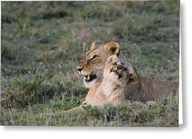 Animals Love Greeting Cards - Love in the Masai Mara Greeting Card by Marion McCristall