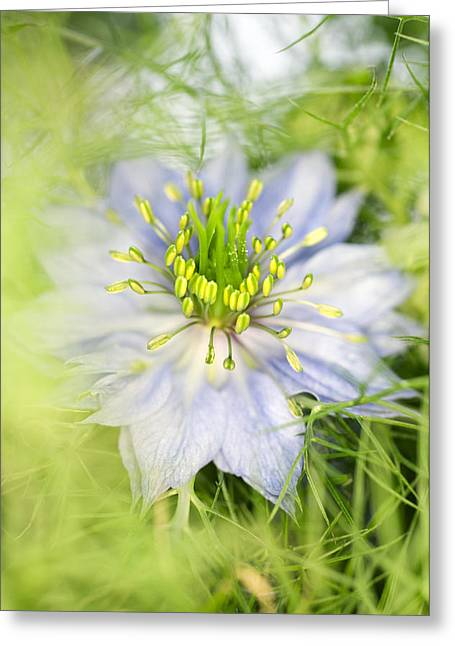 Stimulant Greeting Cards - Love In The Mist Flower (nigella Sp.) Greeting Card by Lawrence Lawry