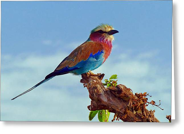 Lilac Roller Greeting Cards - Lovely African Lilac-Breasted Roller Greeting Card by Tacman10